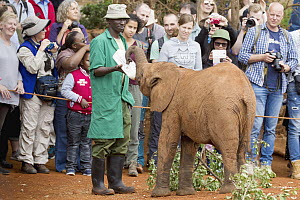 African Elephant (Loxodonta africana) orphaned calf bottle fed by keeper in front of tourists, David Sheldrick Wildlife Trust, Nairobi, Kenya  -  Jaymi Heimbuch