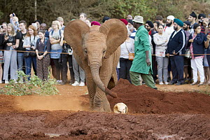 African Elephant (Loxodonta africana) orphaned calf playing with ball in front of tourists, David Sheldrick Wildlife Trust, Nairobi, Kenya  -  Jaymi Heimbuch