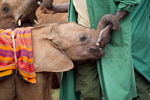 African Elephant (Loxodonta africana) orphaned calves with keeper, David Sheldrick Wildlife Trust, Nairobi, Kenya  -  Jaymi Heimbuch