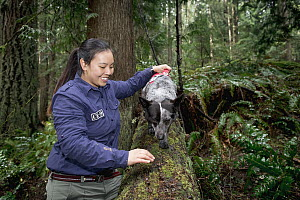 Domestic Dog (Canis familiaris) named Dio, a scent detection dog with Conservation Canines, trains on scent detection with handler Colette Yee, northeast Washington  -  Jaymi Heimbuch