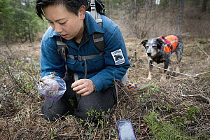 Domestic Dog (Canis familiaris) named Jack, a scent detection dog with Conservation Canines, found raptor foot, which is now being collected by field technician Colette Yee, northeast Washington  -  Jaymi Heimbuch