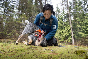 Domestic Dog (Canis familiaris) named Jack, a scent detection dog with Conservation Canines, playing with field technician Colette Yee, northeast Washington  -  Jaymi Heimbuch