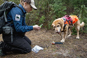 Domestic Dog (Canis familiaris) named Chester, a scent detection dog with Conservation Canines, found scat, which is now being recorded by field technician Rachel Katz, northeast Washington  -  Jaymi Heimbuch