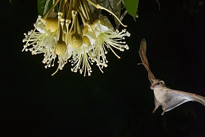 Lesser Long-tongued Fruit Bat (Macroglossus minimus) approaching Durian (Durio zibethinus) flower nectar, Danum Valley Conservation Area, Sabah, Borneo, Malaysia  -  Chien Lee