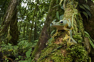 Wallace's Flying Frog (Rhacophorus nigropalmatus) in rainforest, Gunung Penrissen, Sarawak, Borneo, Malaysia  -  Chien Lee