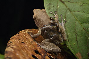 Spike-browed Frog (Sphenophryne cornuta) father transporting froglets, Digul River, West Papua, Indonesia  -  Chien Lee