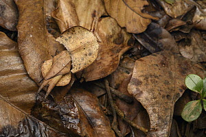 Mantid (Brancsikia aeroplana) female camouflaged in leaf litter, Andasibe, Madagascar  -  Chien Lee