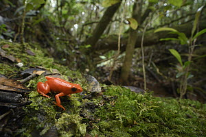 Golden Mantella (Mantella aurantiaca) in forest, Andasibe, Madagascar  -  Chien Lee