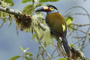 Plate-billed Mountain-Toucan (Andigena laminirostris), Mindo, Ecuador - Chien Lee