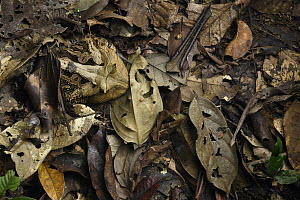 Amazon Horned Frog (Ceratophrys cornuta) camouflaged in leaf litter, Yasuni National Park, Ecuador  -  Chien Lee