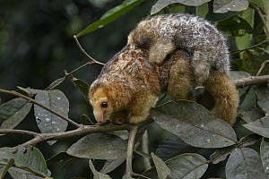 Pygmy Anteater (Cyclopes didactylus) mother and young, Esmeraldas, Ecuador  -  Chien Lee