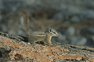Palmer's Chipmunk (Tamias palmeri) with tail up, Spring Mountains, Nevada - Kevin Schafer