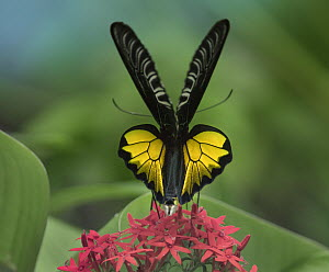 Birdwing Butterfly (Troides sp) showing aposematic coloration, Philippines  -  Tim Fitzharris