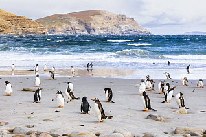 Gentoo Penguin (Pygoscelis papua) group on beach, Grave Cove, Falkland Islands  -  Andrew Peacock