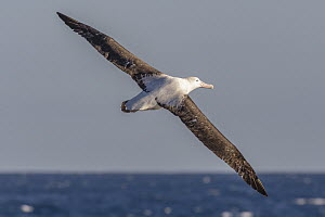 Wandering Albatross (Diomedea exulans) flying, Southern Ocean  -  Andrew Peacock