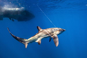 Bigeye Thresher Shark (Alopias superciliosus) caught by scientists for tagging, San Diego, California - Ralph Pace