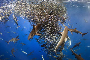 Silky Shark (Carcharhinus falciformis), Galapagos Shark (Carcharhinus galapagensis), Dusky Shark (Carcharhinus obscurus), and Black-tip Shark (Carcharhinus limbatus) group working with Yellowfin Tuna... - Ralph Pace