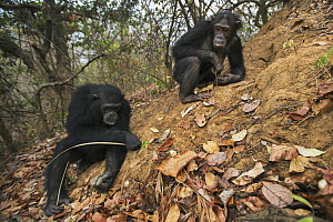 Eastern Chimpanzee (Pan troglodytes schweinfurthii) fifteen year old twins, named Golden and Glitter, termite fishing, Gombe National Park, Tanzania - Anup Shah