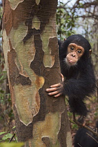 Eastern Chimpanzee (Pan troglodytes schweinfurthii) sixteen month old baby female, named Gossamer, in tree, Gombe National Park, Tanzania - Anup Shah