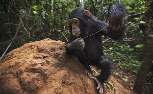 Eastern Chimpanzee (Pan troglodytes schweinfurthii) six year old juvenile female, named Tabora, termite fishing, Gombe National Park, Tanzania - Anup Shah