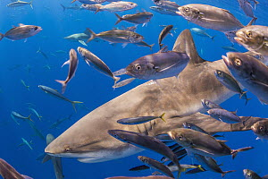 Galapagos Shark (Carcharhinus galapagensis), Reviliagigedo Island, Mexico - Ralph Pace