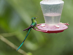Long-tailed Sylph (Aglaiocercus kingi) male at feeder, Ecuador  -  Konrad Wothe