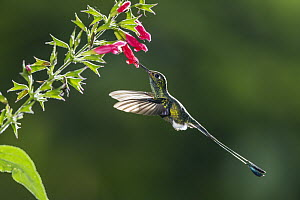 Booted Racket-tail (Ocreatus underwoodii) feeding on flower nectar, Ecuador - Konrad Wothe