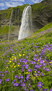 Wood Cranesbill (Geranium sylvaticum) flowers near waterfall and tourists, Iceland  -  Yva Momatiuk & John Eastcott