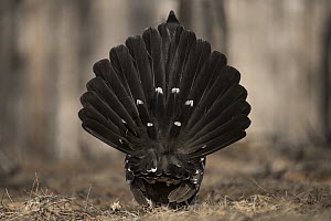 Black-billed Capercaillie (Tetrao parvirostris) male displaying, Mongolia - Sergey Gorshkov