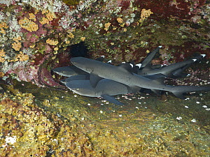 White-tip Reef Shark (Triaenodon obesus) group, Revillagigedo Islands, Mexico  -  Norbert Wu