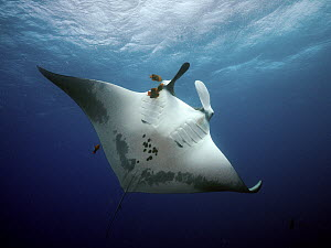 Manta Ray (Manta birostris) being cleaned by Clarion Angelfish (Holacanthus clarionensis) group, Socorro Island, Revillagigedo Islands, Mexico  -  Norbert Wu