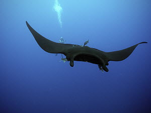 Manta Ray (Manta birostris) being cleaned by Clarion Angelfish (Holacanthus clarionensis) pair near diver, Socorro Island, Revillagigedo Islands, Mexico  -  Norbert Wu