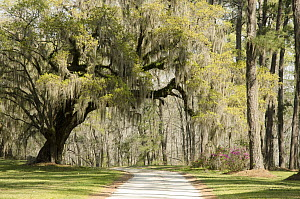 Southern Live Oak (Quercus virginiana) tree along road, Donnelley Wildlife Management Area, South Carolina  -  Norbert Wu