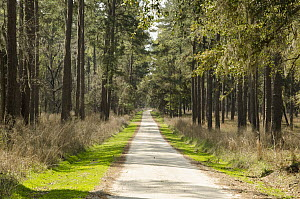 Pine (Pinus sp) forest along road, Donnelley Wildlife Management Area, South Carolina - Norbert Wu