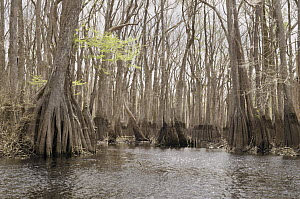 Bald Cypress (Taxodium distichum) trees in swamp, Ebenezer Creek, Georgia  -  Norbert Wu