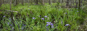 Virginia Iris (Iris virginica) flowers in swamp, Darien, Georgia - Norbert Wu