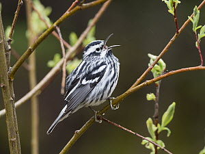 Black-and-white Warbler (Mniotilta varia) male calling in spring, Maine - Scott Leslie