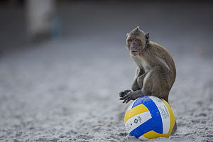 Long-tailed Macaque (Macaca fascicularis) on ball on beach, Thailand - Cyril Ruoso