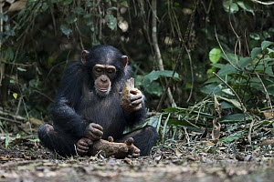 Chimpanzee (Pan troglodytes) using stone tool to crack nuts, Bossou, Guinea. Sequence 1 of 3 - Cyril Ruoso