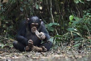 Chimpanzee (Pan troglodytes) using stone tool to crack nuts, Bossou, Guinea. Sequence 2 of 3 - Cyril Ruoso