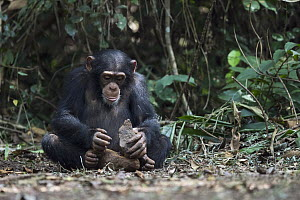 Chimpanzee (Pan troglodytes) using stone tool to crack nuts, Bossou, Guinea. Sequence 3 of 3 - Cyril Ruoso