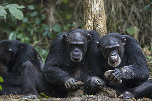 Chimpanzee (Pan troglodytes) pair using stone tool to crack nuts, Bossou, Guinea - Cyril Ruoso