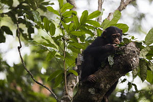 Chimpanzee (Pan troglodytes) five year old juvenile male named Fanwwaa using leaves as spoon to scoop water from tree cavity, Bossou, Guinea. Sequence 4 of 4 - Cyril Ruoso