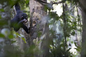 Chimpanzee (Pan troglodytes) using stick to forage for prey in small tree cavity, Bossou, Guinea - Cyril Ruoso