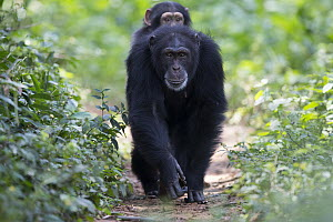 Chimpanzee (Pan troglodytes) five year old juvenile male named Fanwwaa being carried by his mother named Fanle, Bossou, Guinea - Cyril Ruoso