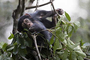 Chimpanzee (Pan troglodytes) five year old juvenile male named Fanwwaa at mother's nest, Bossou, Guinea  -  Cyril Ruoso