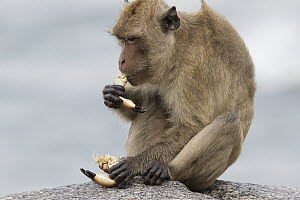 Long-tailed Macaque (Macaca fascicularis) feeding on crab, Khao Sam Roi Yot National Park, Thailand - Cyril Ruoso