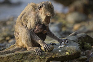 Long-tailed Macaque (Macaca fascicularis) mother with young using stone tool to break shell, Khao Sam Roi Yot National Park, Thailand. Sequence 2 of 4 - Cyril Ruoso