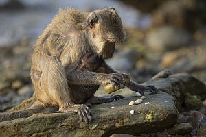 Long-tailed Macaque (Macaca fascicularis) mother with young using stone tool to break shell, Khao Sam Roi Yot National Park, Thailand. Sequence 3 of 4 - Cyril Ruoso