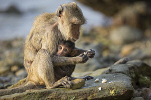 Long-tailed Macaque (Macaca fascicularis) mother with young using stone tool to break shell, Khao Sam Roi Yot National Park, Thailand. Sequence 4 of 4 - Cyril Ruoso